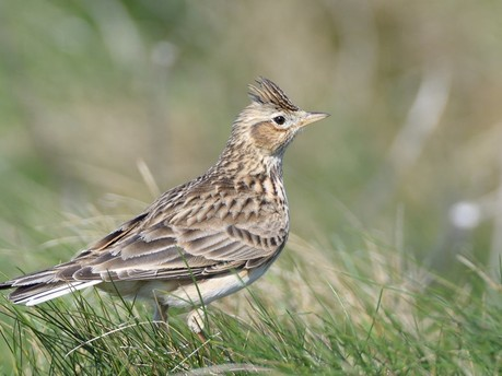 Threatened birds flocking to Trust's nature-friendly farms